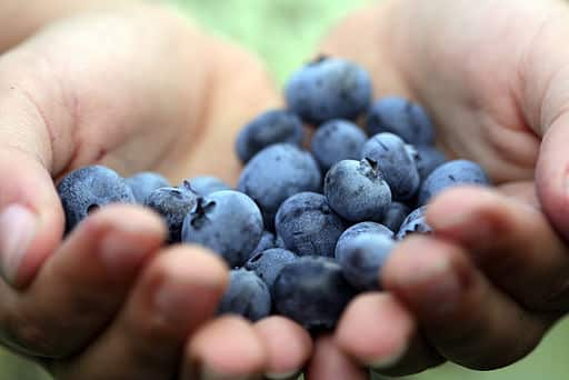Eat blueberries - Photo Wikimedia Commons