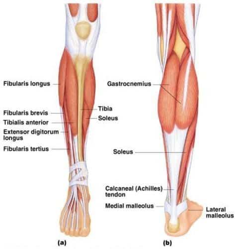 Akillessenen anatomi
