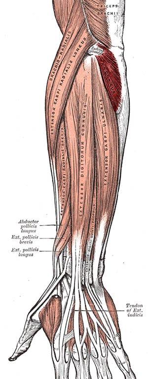 Anconeus muskelfester - Foto Wikimeida