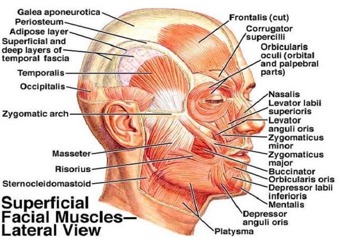 Ansiktsmuskulatur - Foto Wiki