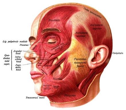 Ansiktsmuskulatur