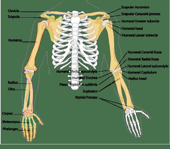 Armens anatomi - Foto Wikimedia