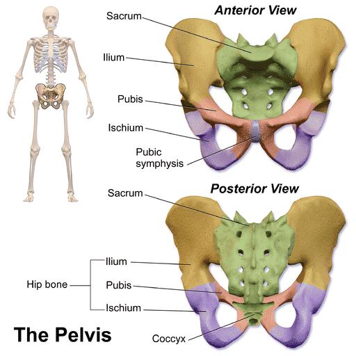 Bekkenets anatomi - Foto Wikimedia