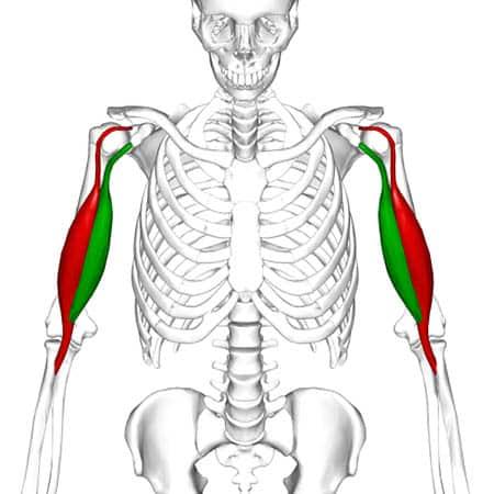 Biceps brachii muskelfester - Foto Wikimedia