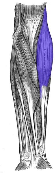 Brachioradialis muskelfester - Foto Wikimedia