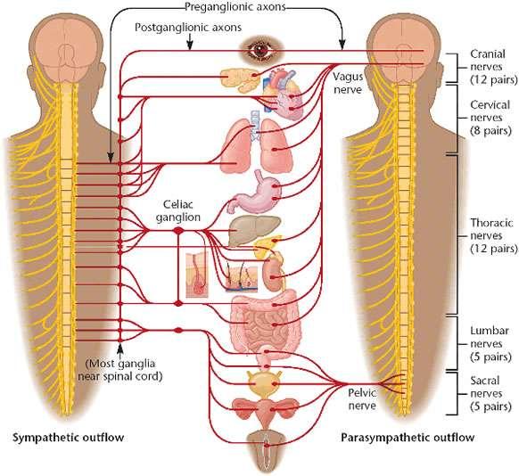 Det autonomiske nervesystemet - Foto Wiki