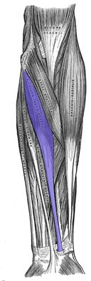 Flexor carpi radialis - Foto Wikimedia