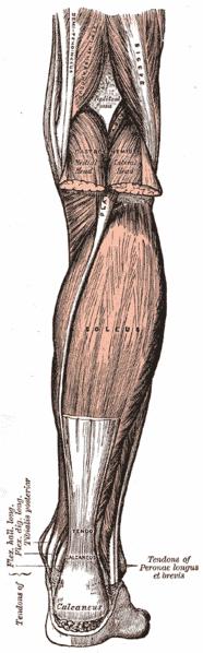 Gastrocsoleus muskel - Foto Wikimedia