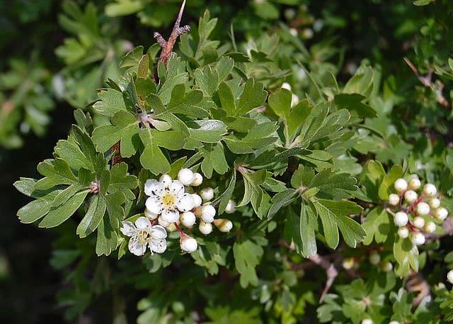 Hagtorn - Foto Wikimedia