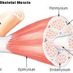 Vondt i musklene – Muskelknuter og triggerpunkter.