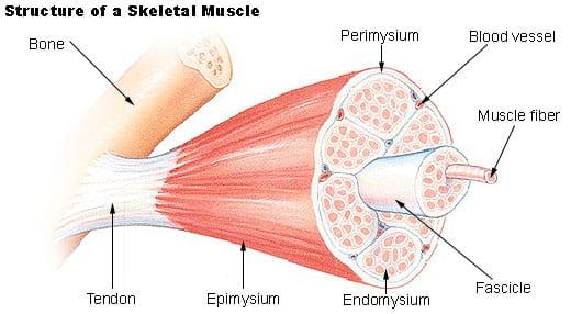 Muskelstruktur. Foto: Wikimedia Commons