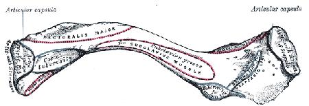 Kragebeinet og muskelfester - Foto Wikimedia