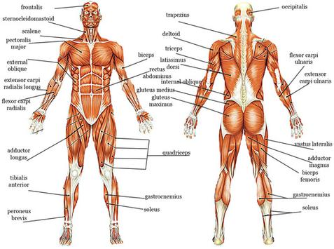 Kroppens anatomi - Det muskulære system