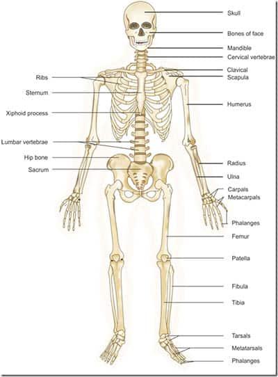 Kroppens anatomi - skjelettet
