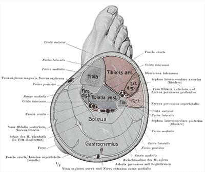 Anatomi kryss seksjon av leggen - Foto WIkimedia