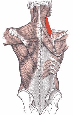 Levator scapula myalgi - Foto Wikimedia