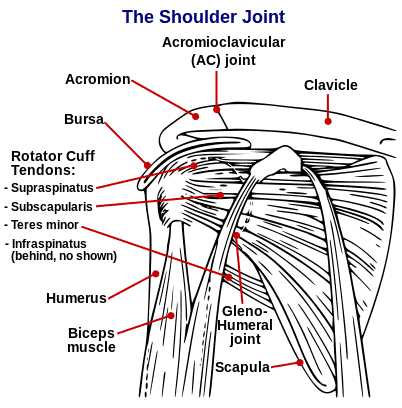 Muskulatur rundt skulderleddet