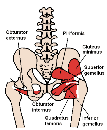 Obturator internus muskelfester - Foto Wikimedia