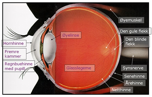 Øyeanatomi - Foto Wiki
