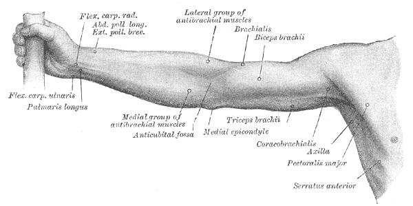 Palmaris longus muskelen - Foto Wikimedia