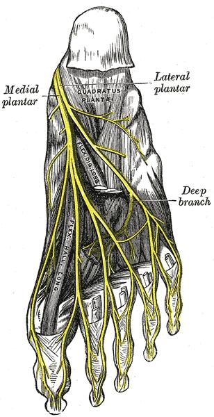 Plantar nerve oversikt - Foto Wikimedia