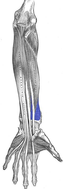Pronator quadratus muskel - foto Wikimedia
