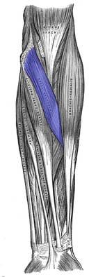 Pronator teres muskelfester - Foto Wikimedia