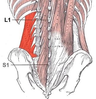 Quadratus lumborum muskelfester - Foto Wikimedia
