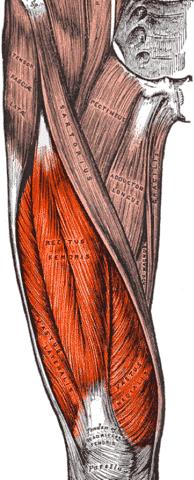 Quadriceps - Foto Wikimedia