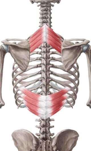 Serratus posterior muskelfester - for både inferior og superior - foto Wikimedia