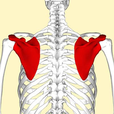 Skulderbladets anatomi