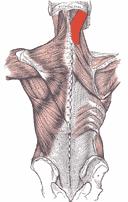 Splenius capitis myalgi - Foto Wikimeida