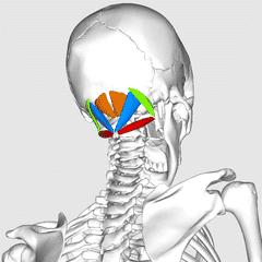 Suboccipitalis muskel fester - Foto Wikimedia