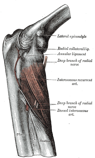 Supinator muskelfester - Foto Wikimedia