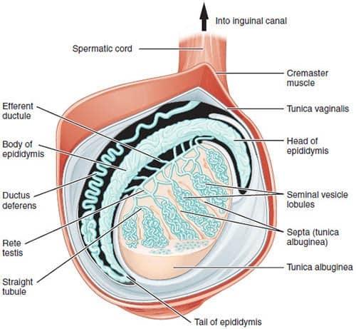 testikkelens anatomi
