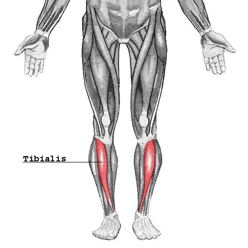 Tibialis anterior muskelen - Foto Wikimedia
