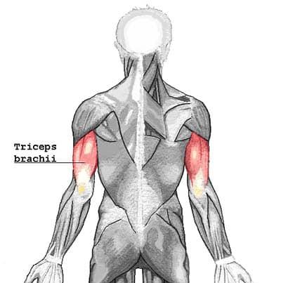 Triceps brachii muskelfester - Foto Wikimedia