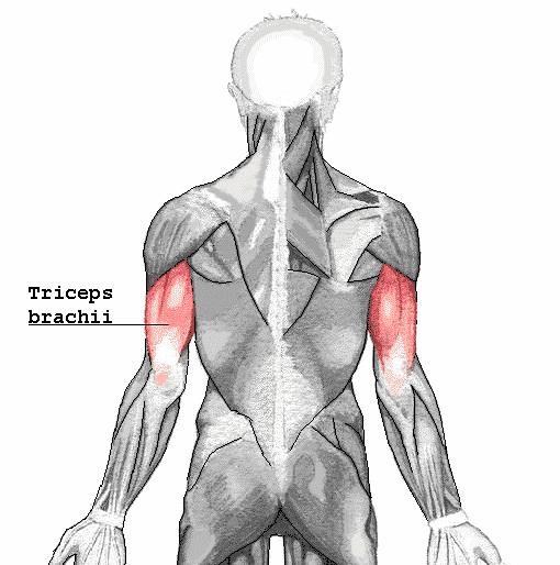 Triceps brachii - Foto Wikimedia