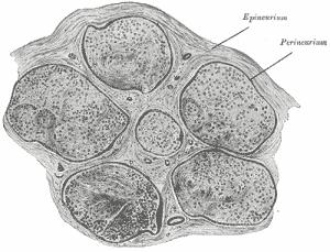 Cross-section av en nerve