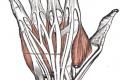 Hånd. Foto: Wikimedia Commons