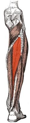 tibialis posterior - muskeloversikt